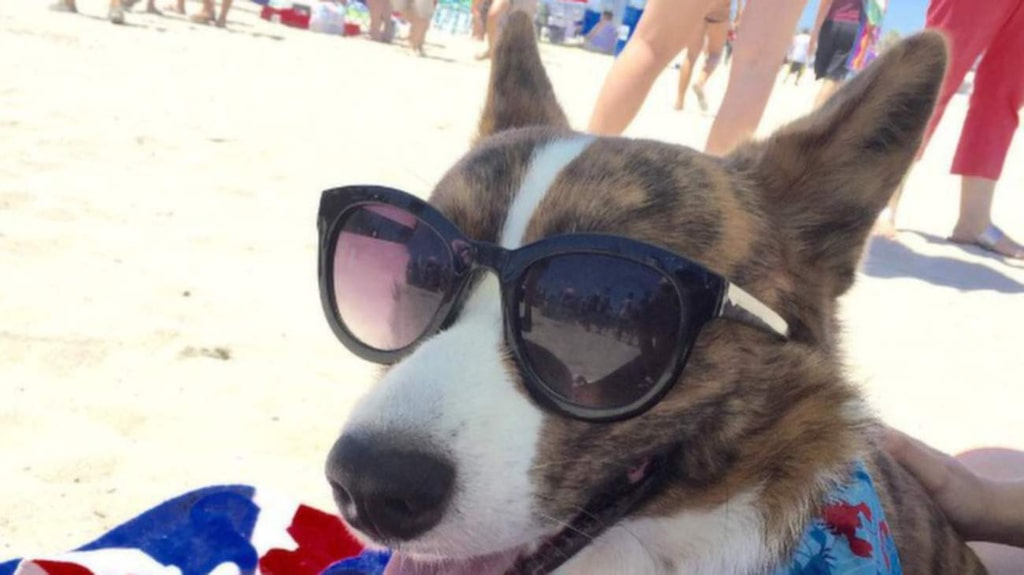 """<p><strong>lstockly</strong> #corgibeachday. Foto: <a href=""""https://instagram.com/p/5nhp4NkG_N/?taken-by=lstockly"""" target=""""_blank"""">Instagram/Istockly</a></p>"""