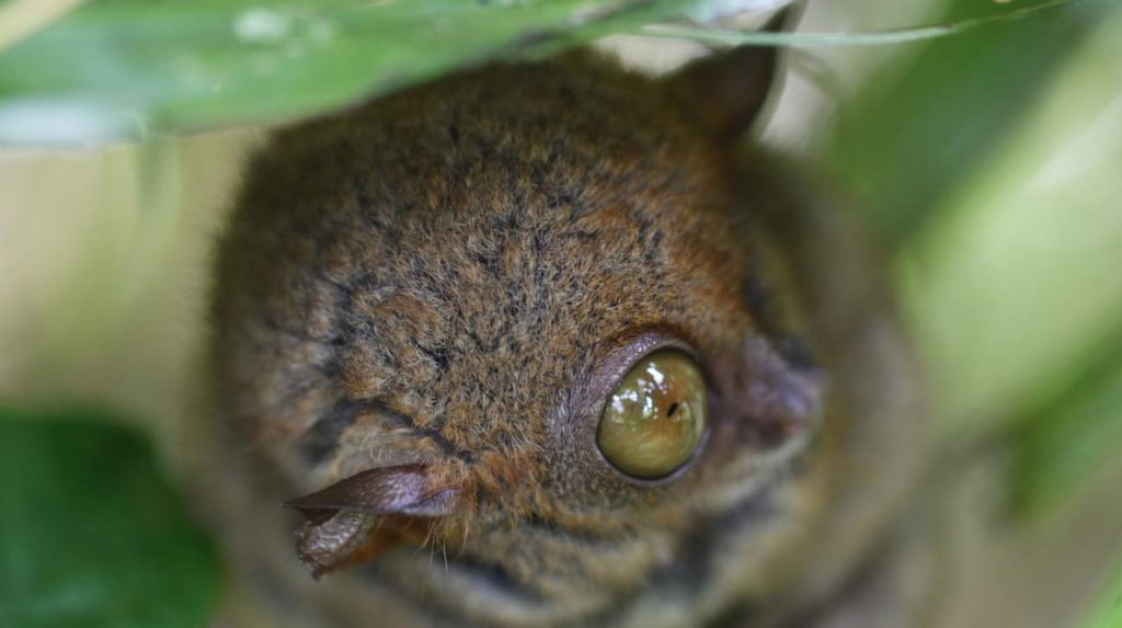 Det filippinska spökdjuret är en av världens minsta primater.