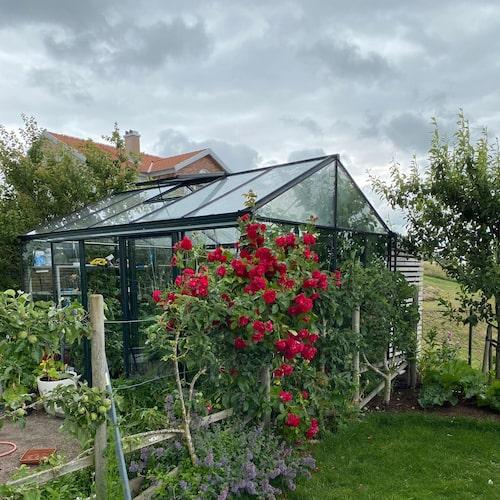 """I den lilla köksträdgården finns potatis i hinkar och massor med tomater. """"Jag köpte tomatfrön i Amerika för tre år sedan. Ingen trodde att de skulle gro, men nu har jag 40 plantor bifftomater"""", säger Hasse Andersson."""