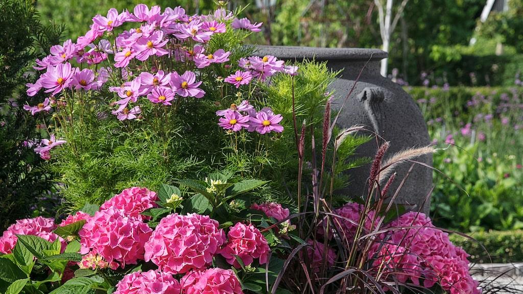 En fin kombination är hortensia, rosenskära och fjäderborstgräs.