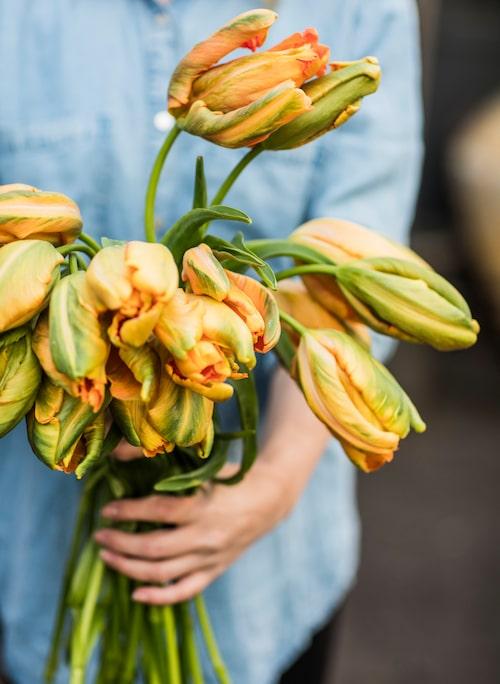 De populära franska tulpanerna är extra eleganta och graciösa med sina långa stjälkar. De är ofta lite dyrare än vanliga tulpaner men sorten står sig länge i vas.