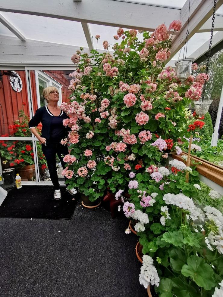 """""""Jag har inte kunnat klippa ner dem eller slängt dem för de har varit fina. Och så tänker jag att i naturen är det ingen som klipper dem. Där får de växa fritt"""", säger Gun-Marie Nyström Jonsson om blommorna på uteplatsen."""