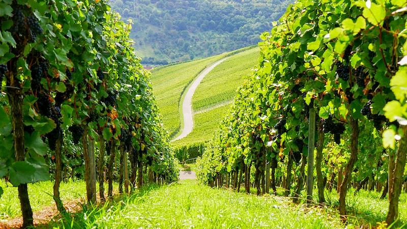 Österrikes stolthet grüner veltliner är druvan i två av dessa fina fynd som fått högsta betyg i Allt om Vins magasin.