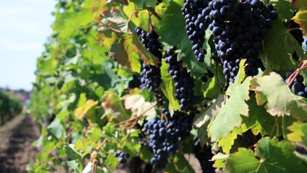 Både zinfandel och primitivo ger fylliga röda viner med fruktig smak.