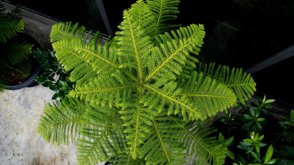 Rumsgran, eller Norfolk Island pine tree som den heter på engelska, karaktäriseras av ljusgröna, mjuka barr och ett symmetriskt grenverk.