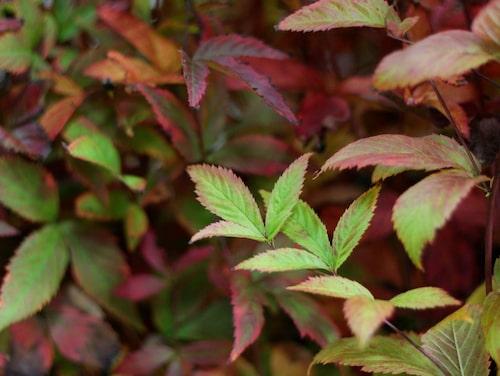Blommorna har röda foderblad, sitter i luftiga samlingar och bärs upp av tunna, roströda stjälkar.