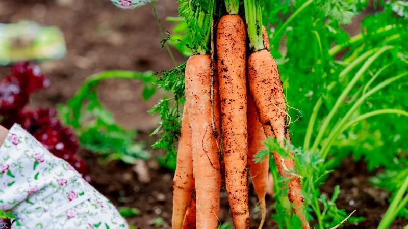 Morötter är ett exempel liksom andra grönsaker, blommor, bärbuskar och så vidare.
