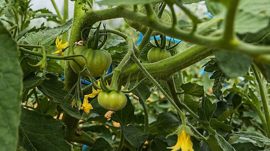 ... tomatplantor...