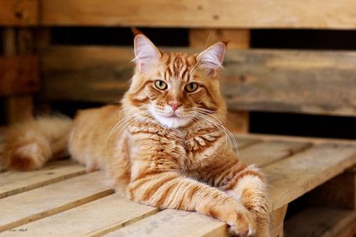 Maine coon är en vänlig katt med ett stabilt temperament.