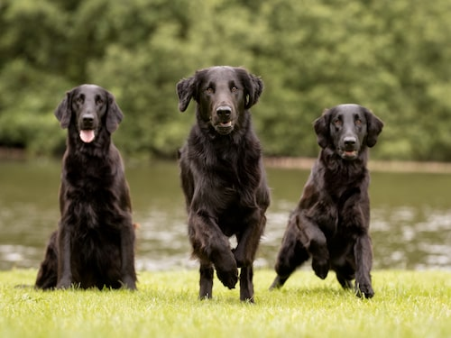 Flatcoated retriever.