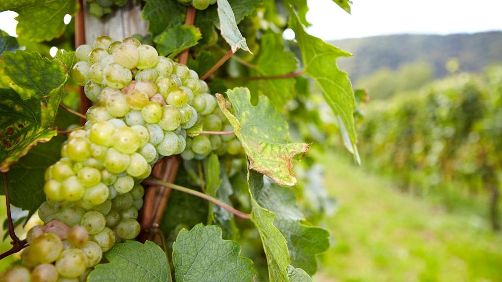 Druvan kan producera viner i många olika stilar – från snustorrt till sött.