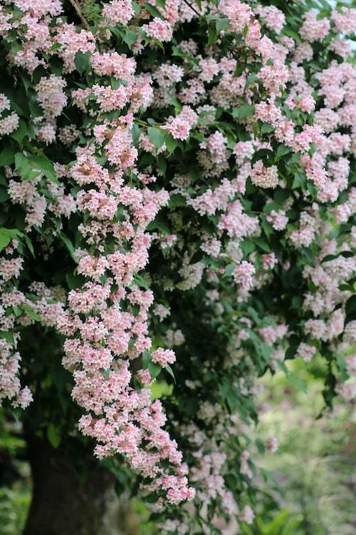 Det vanligaste är att man sätter paradisbusken som ett större buskage men den funkar också alldeles utmärkt som häck.