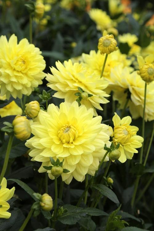 """Vackra """"Morning Glory"""" blommar med lysande solgula blommor som blir cirka 10-15 centimeter i diameter. Det är en så kallad näckrosdahlia och plantan blir 110 centimeter hög."""