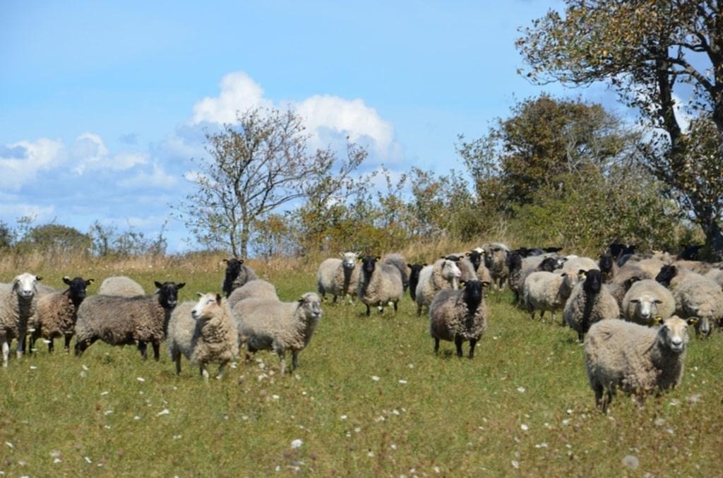 Lammen trivs på södra Gotland.