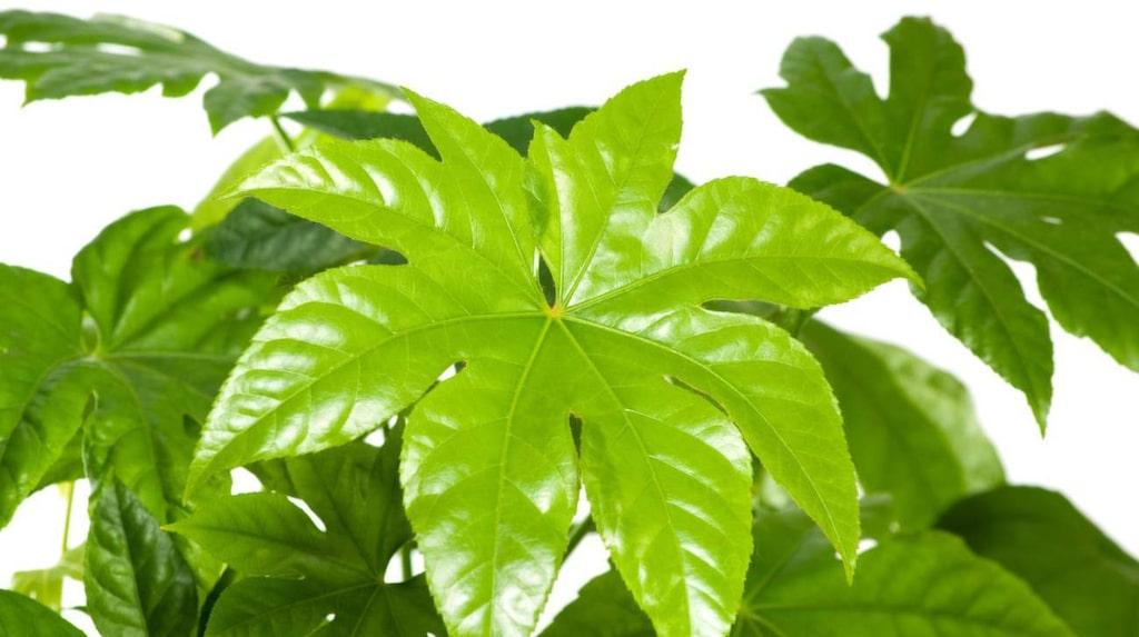 Aralia-blomman Fatsia japonica är bra på att ta upp och binda formaldehyd ur luften.