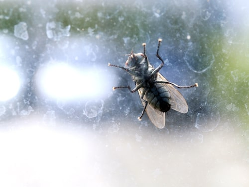 Husflugorna kommer in till värmen under hösten.