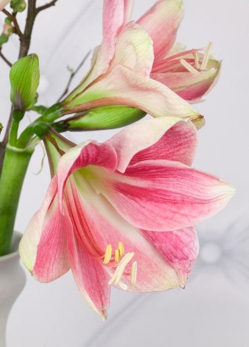 Blomman utvecklas i olika takt beroende på i vilken värme den står.