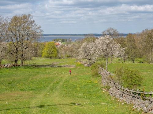 På pilgrimsvandring genom småkulligt kulturlandskap med hagar, stenmurar och blommande körsbärsträd.