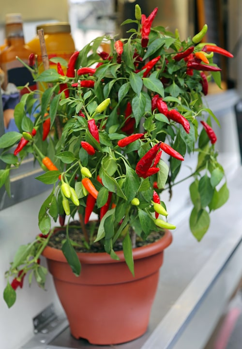 Chilin älskar sol och värme.