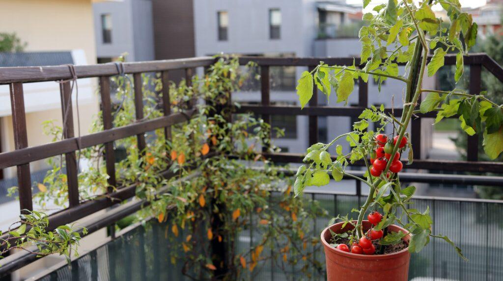 Det går bra att odla tomater på balkongen. Det är enkelt, vackert och belönande att odla tomat i kruka. Starta med stadiga plantor som snabbt kommer i gång.