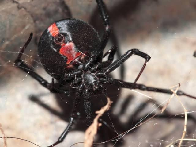 Rödryggad spindel