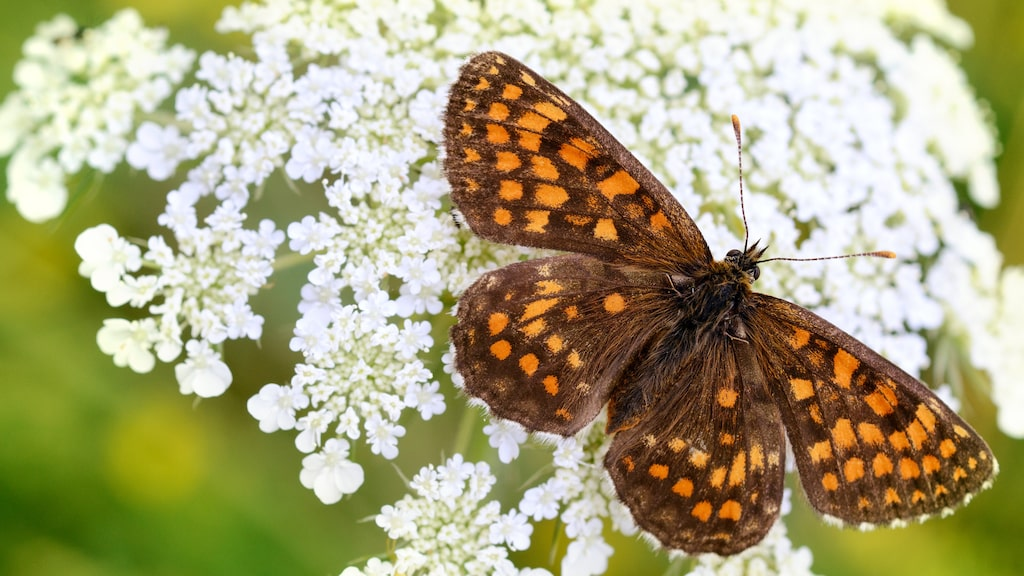 Veronikanätfjärilen, vars larver lever av växter som svartkämpar, teveronika och axveronika, ser ut att vara på väg att dö ut i Sverige. 2019 hittades inte en enda.