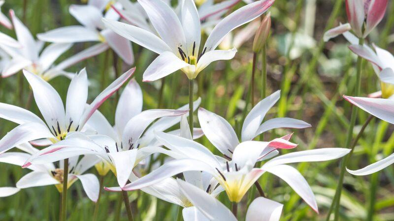 Botanisk tulpan, Clusiana Stellata, är en ovanligt formad tulpan som blommar sent.