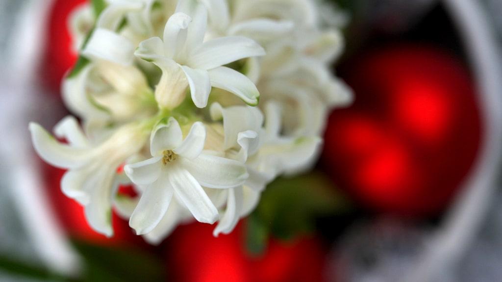 Vi kan köpa hyacinter i var och varannan butik mellan december och april.