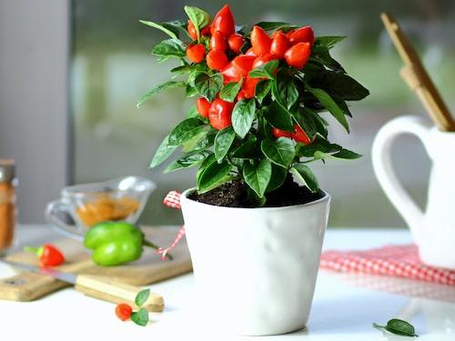 Skörda allt eftersom, det stimulerar plantan att ge fler chilifrukter.