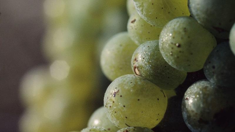 Sauvignon blanc-viner passar ofta utmärkt till fisk och skaldjur.