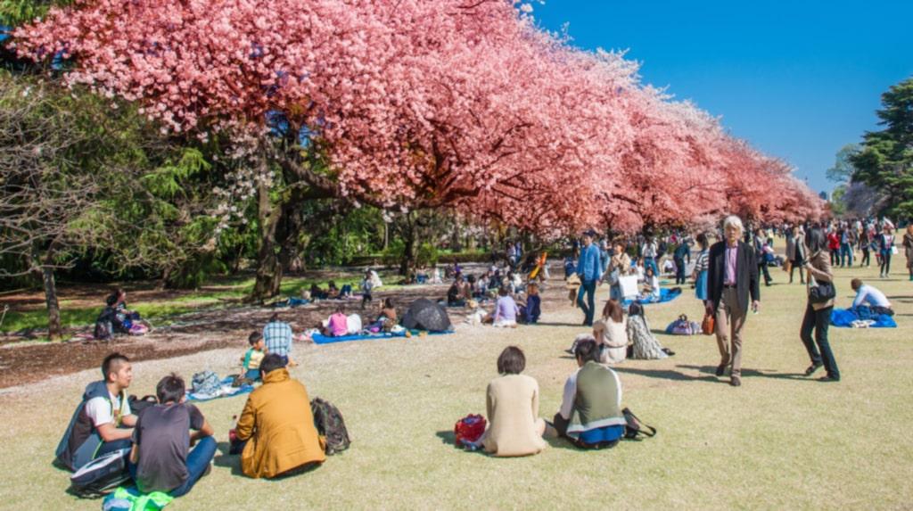 Körsbärsträdens blomning är en storhögtid för japanerna.