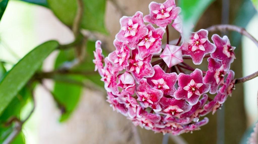 Porslinsblomman kan blomma i stora klasar med 40-50 blommor i varje.
