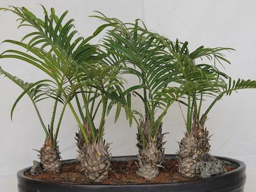 Även en palm kan bli bonsaiträd.