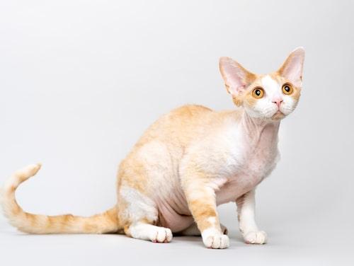 Devon rex, en livlig katt med ett ovanligt utseende.