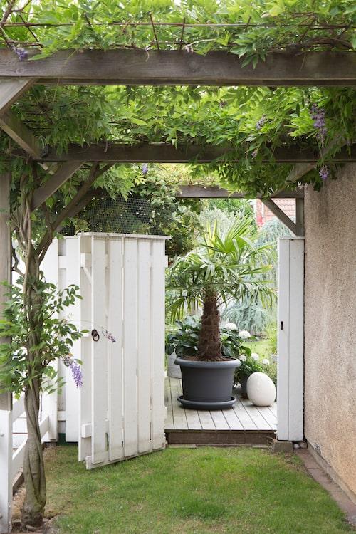 En mer grönskande entré in till en trädgård får man leta efter. På pergolan växer blåregn och trumpetranka tätt. På försommaren, när blåregnet står i full blom, är pergolan en dröm i blått.