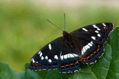 Aspfjäril (Limenitis populi).