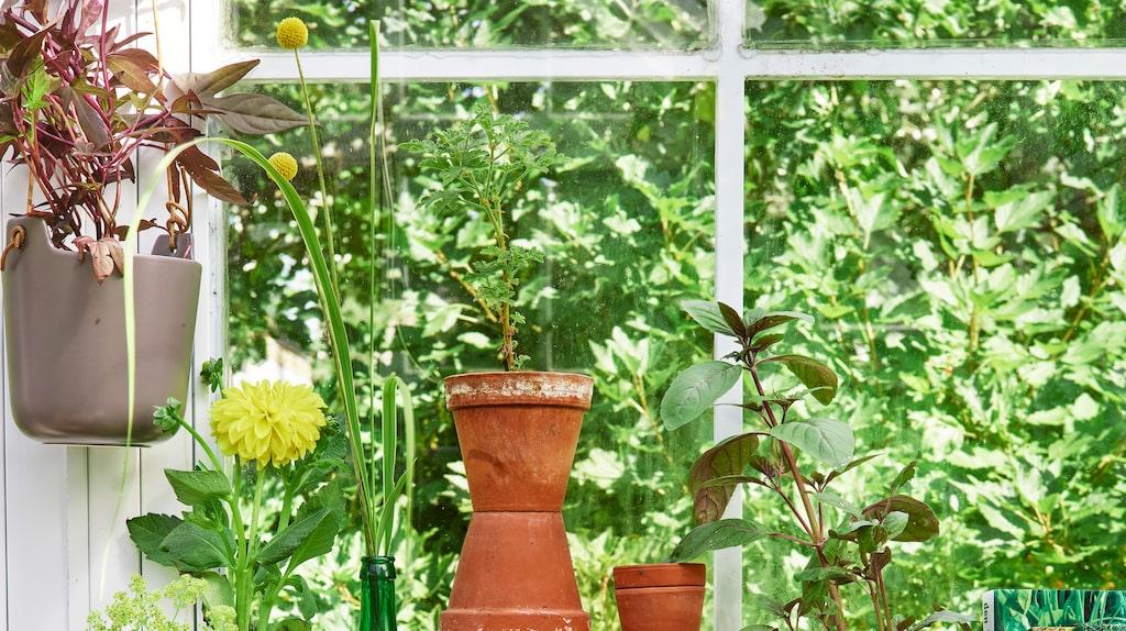Innan du köper växthus är det viktigt att fundera på just dina behov. Är det odling och försådd som är syftet kan ett mindre växthus under 10 kvadratmeter fungera bra.