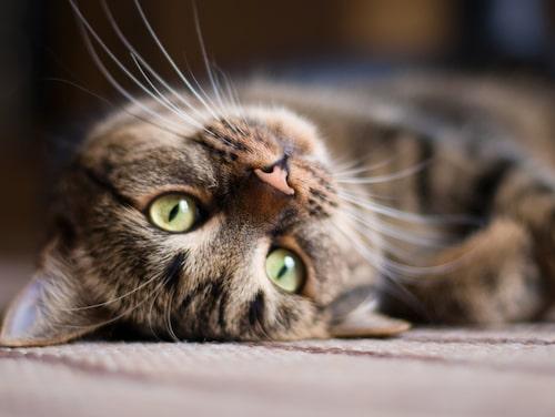 Finns det något mysigare än en kurrande katt?
