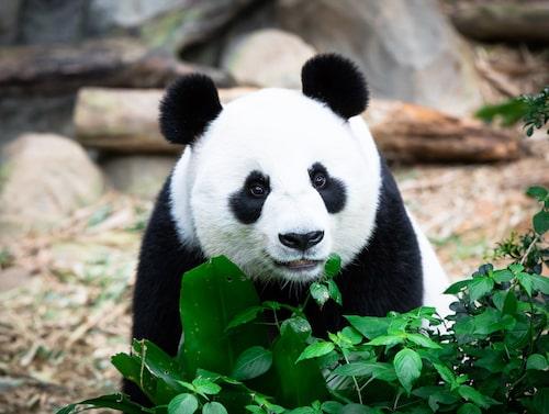 Vill du se vad pandorna på National Zoo i Washington gör just nu är det bara att gå in på deras livestream.
