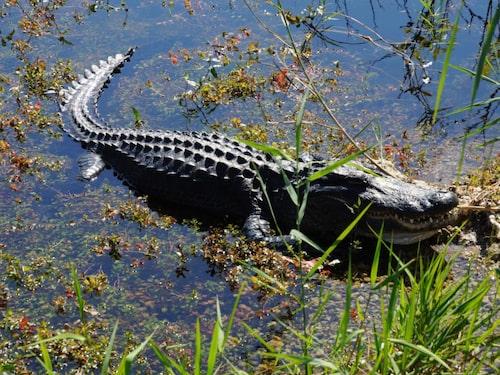 Everglades är en enorm nationalpark och träskmark med massor av vilda djur som alligatorer.