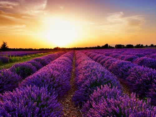 Lavendelfälten är både vackra och väldoftande.