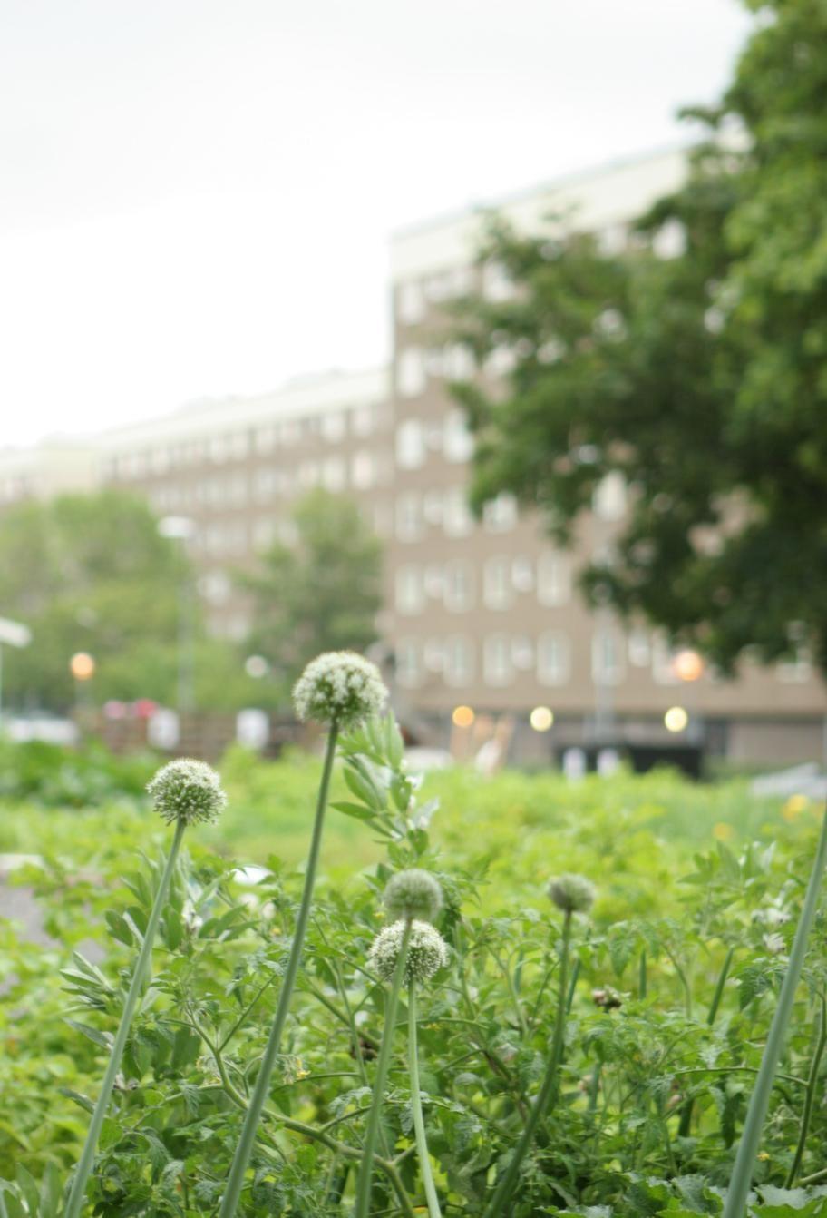 Förort. <br>I Alby utanför Stockholm har det funnits odlingslotter vid hyreshusen sedan 1970-talet, och de finns fortfarande. I de nyrenoverade områdena i Alby har man lagt vikt vid att skapa vackra rabatter och grönskan inspirerar till mer odlingar.